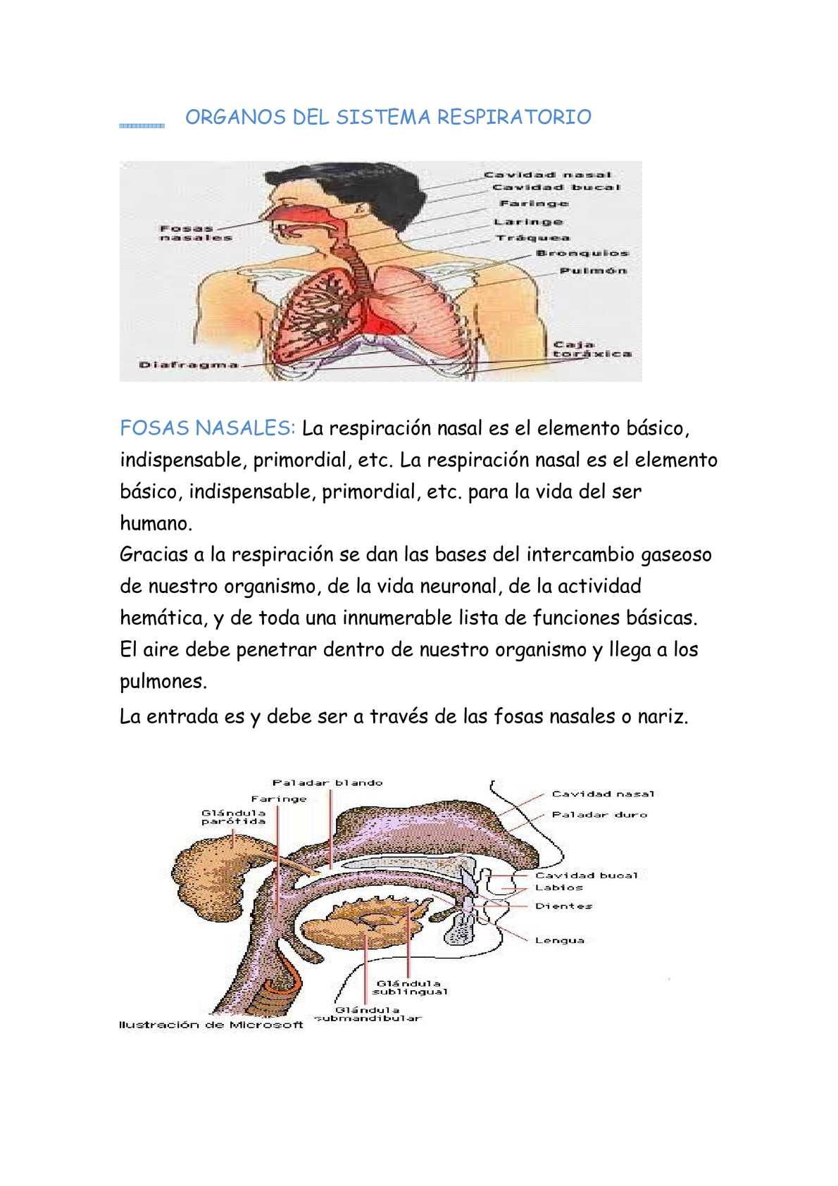 Calaméo - Organos Del Sistema Respiratorio