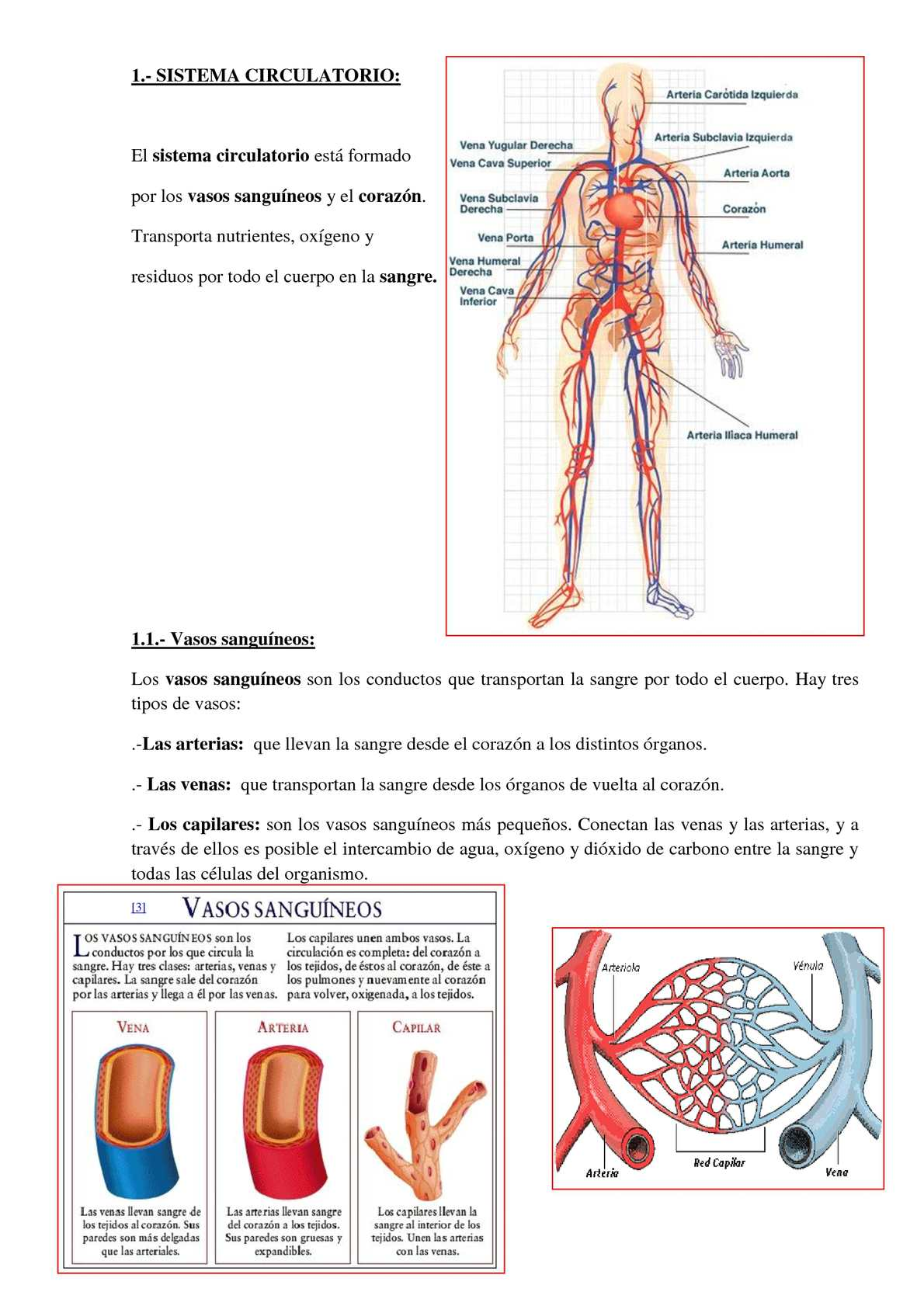 Circuito Sanguineo : Calaméo sistema circulatorio. espaÑol