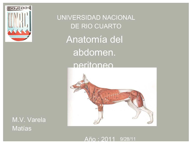 Calaméo - Anatomía animal. tema: peritoneo y estómago del perro ...