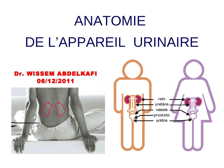 calam o anatomie de l 39 appareil urinaire dr wissem. Black Bedroom Furniture Sets. Home Design Ideas