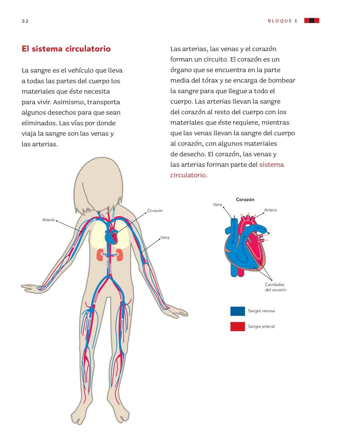 Atractivo Sistema Circulatorio Hoja De Trabajo De Grado 5 Modelo ...