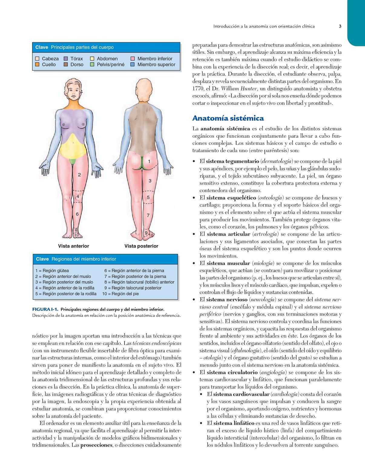 Lujoso Anatomía Posterior Del Muslo Ilustración - Imágenes de ...