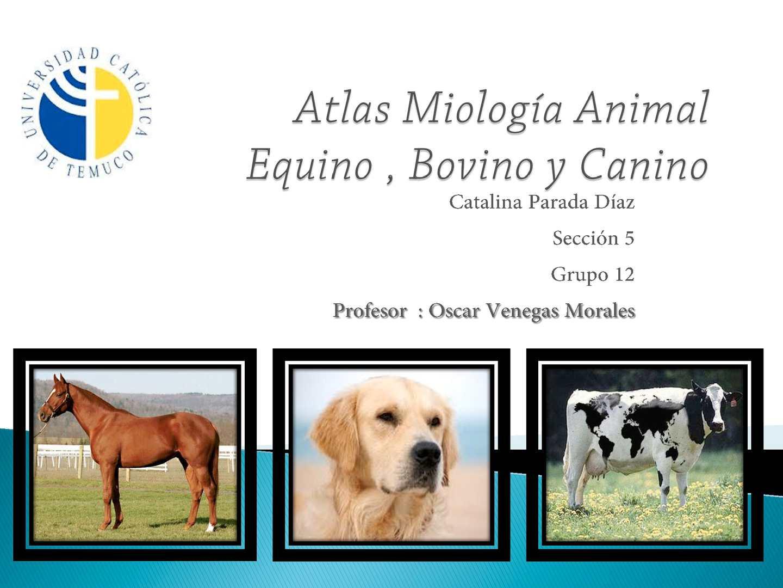 Calaméo - Atlas Miologia Animal ( Equino , Bovino y Canino )