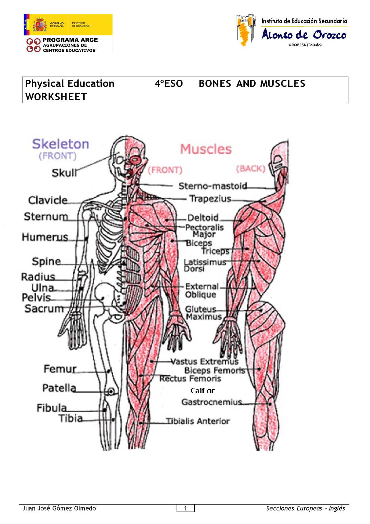 Physical Education-4º ESO - bones and muscles worksheet