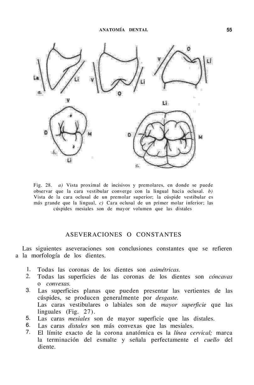 anatomia dental - CALAMEO Downloader