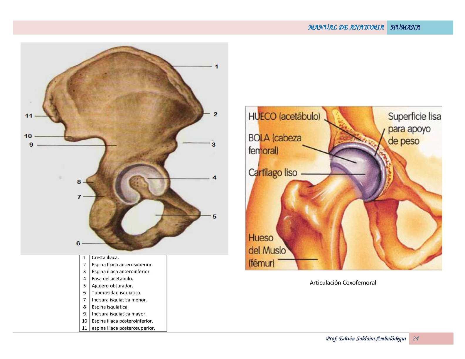 Lujoso Anatomía Humana Y De Laboratorio Versión Gato Manual De La ...