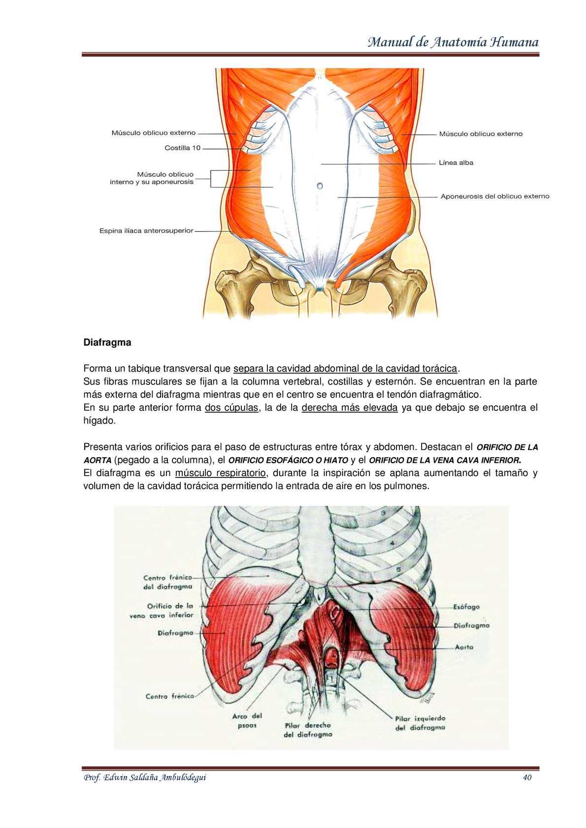 Fantástico Anatomía Oblicuo Externo Patrón - Imágenes de Anatomía ...