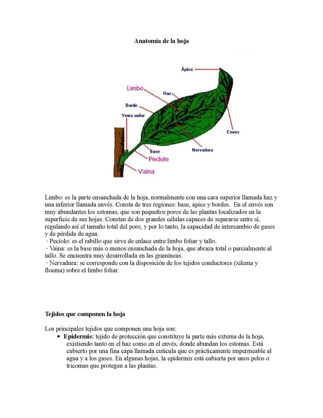 Calaméo - Anatomía de la hoja
