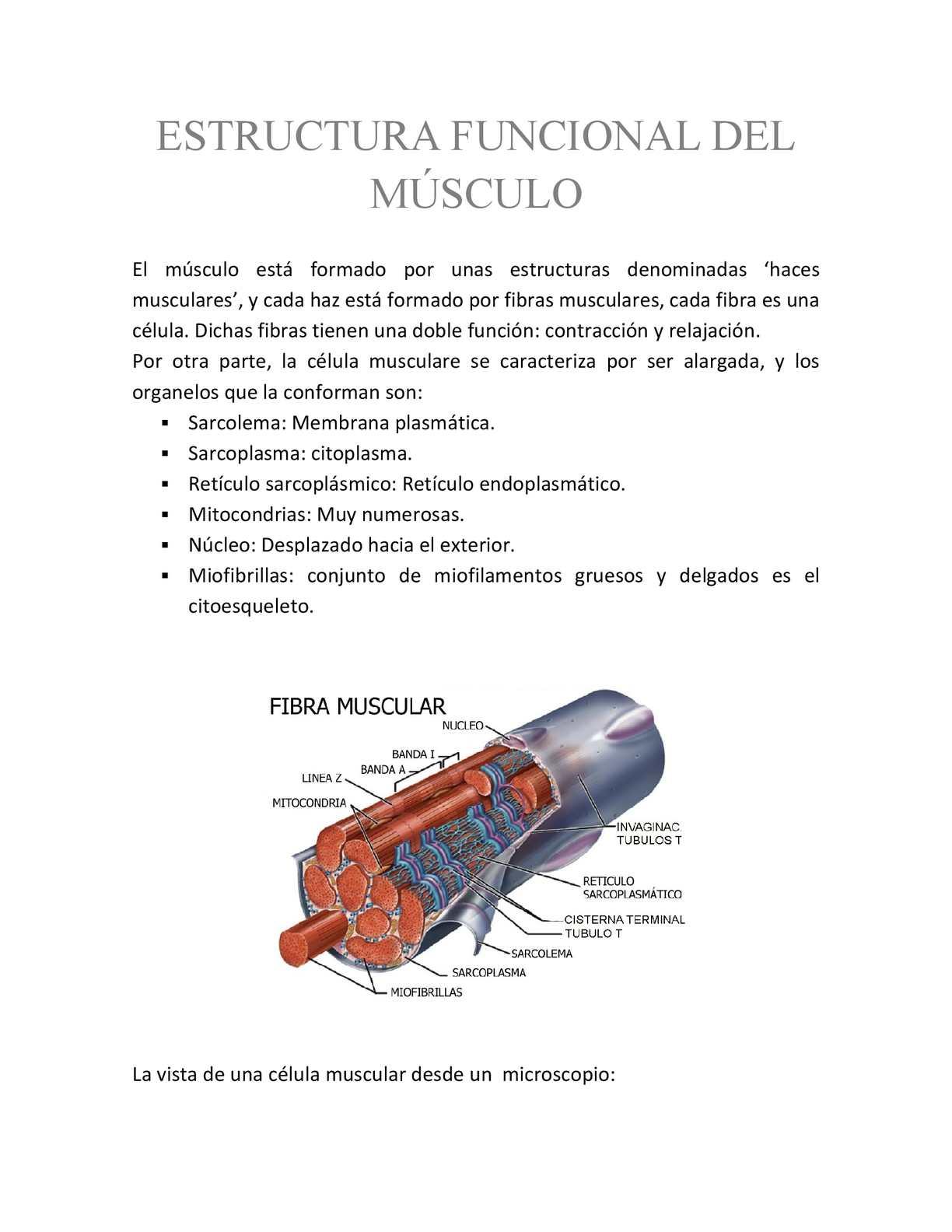 Calaméo - Estructura Funcional del Músculo