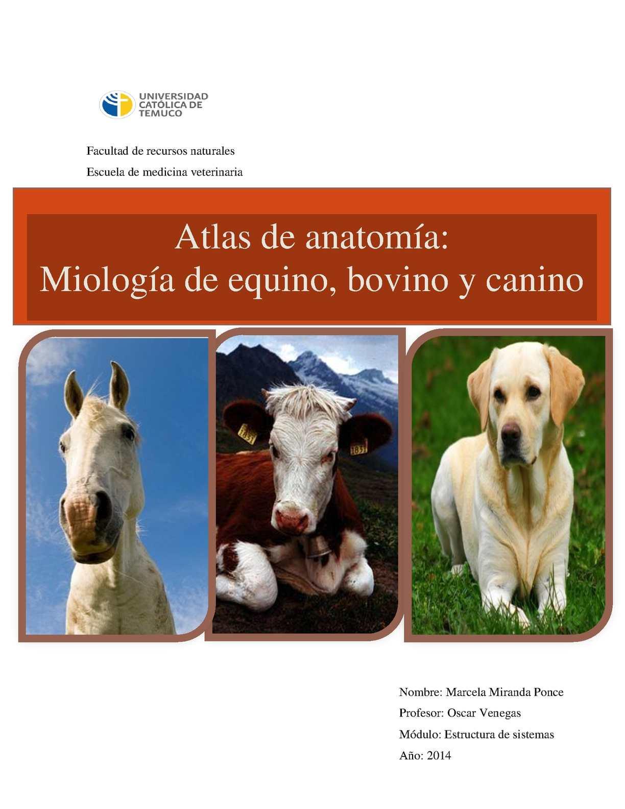 Calaméo - Atlas de miologia veterinaria