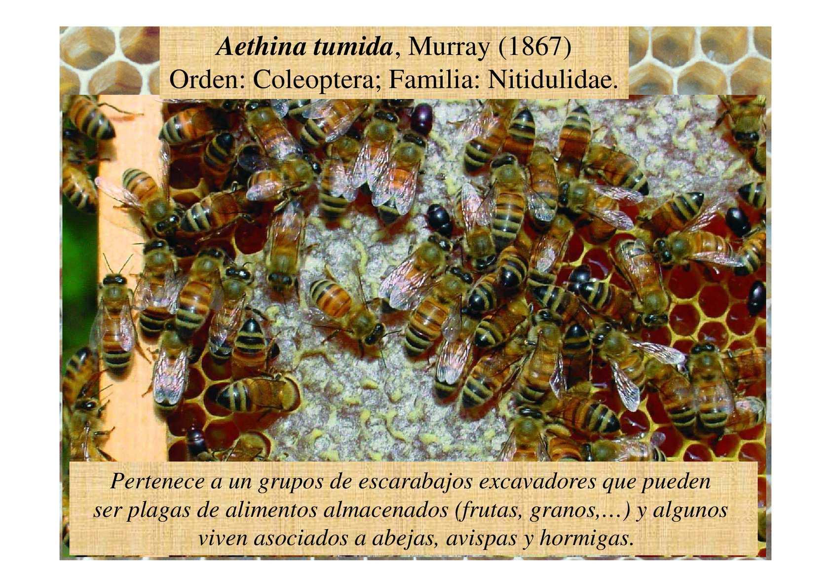 Aethina Tropilaelaps Curso Apiads