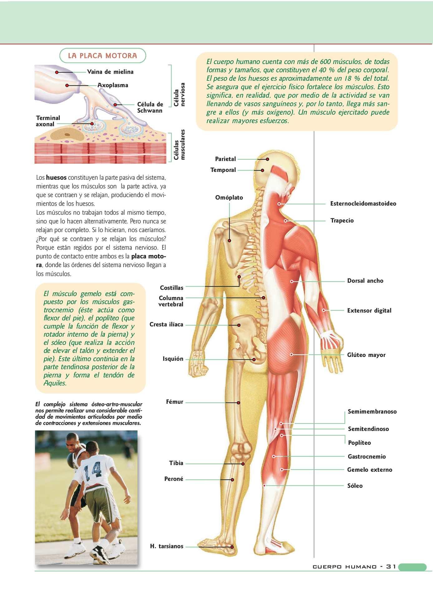 Excepcional Parte Dorsal Fotos - Imágenes de Anatomía Humana ...