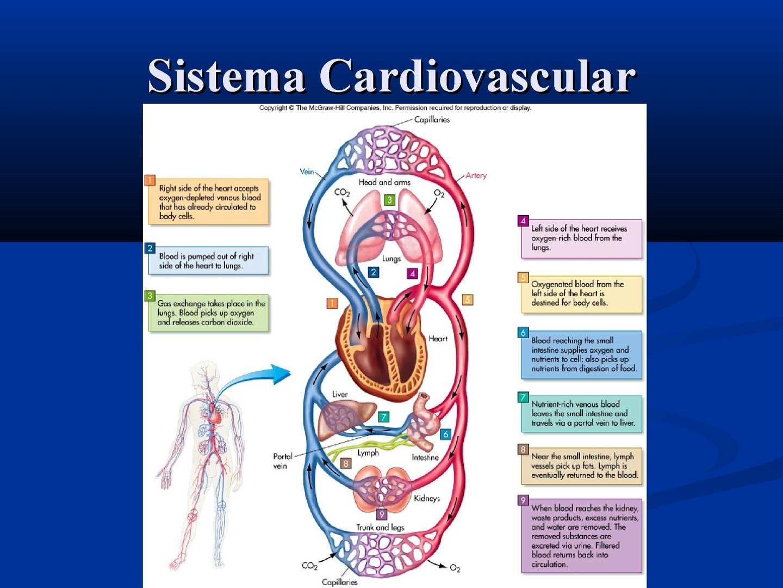 Calaméo - Sistema Cardiovascular