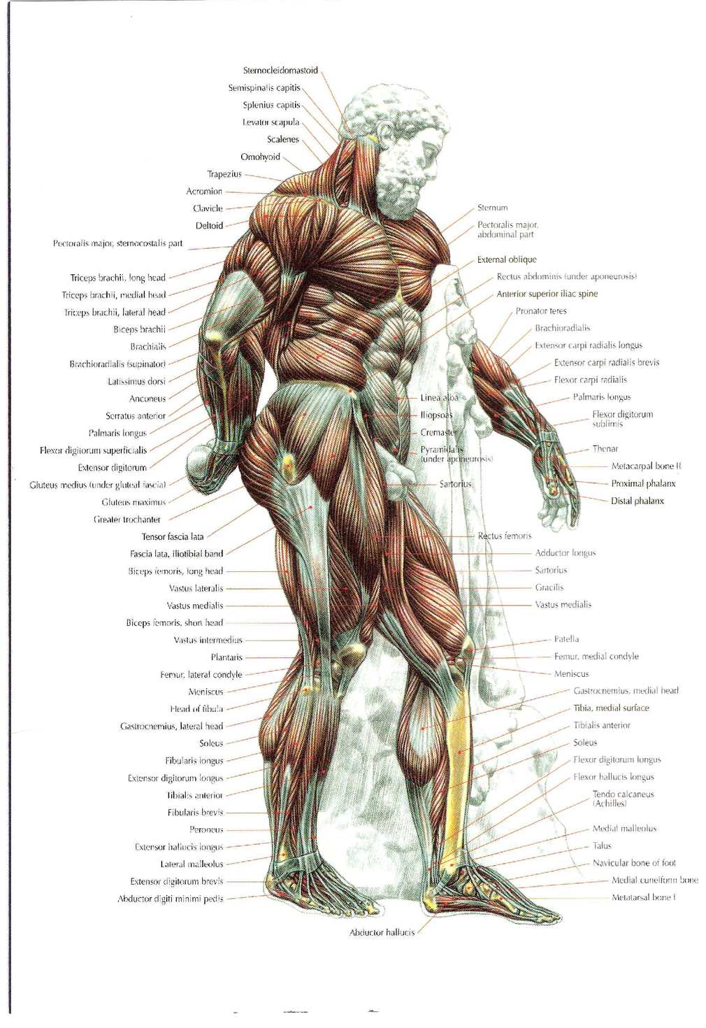Strength Training Anatomy 2nd Edition - CALAMEO Downloader