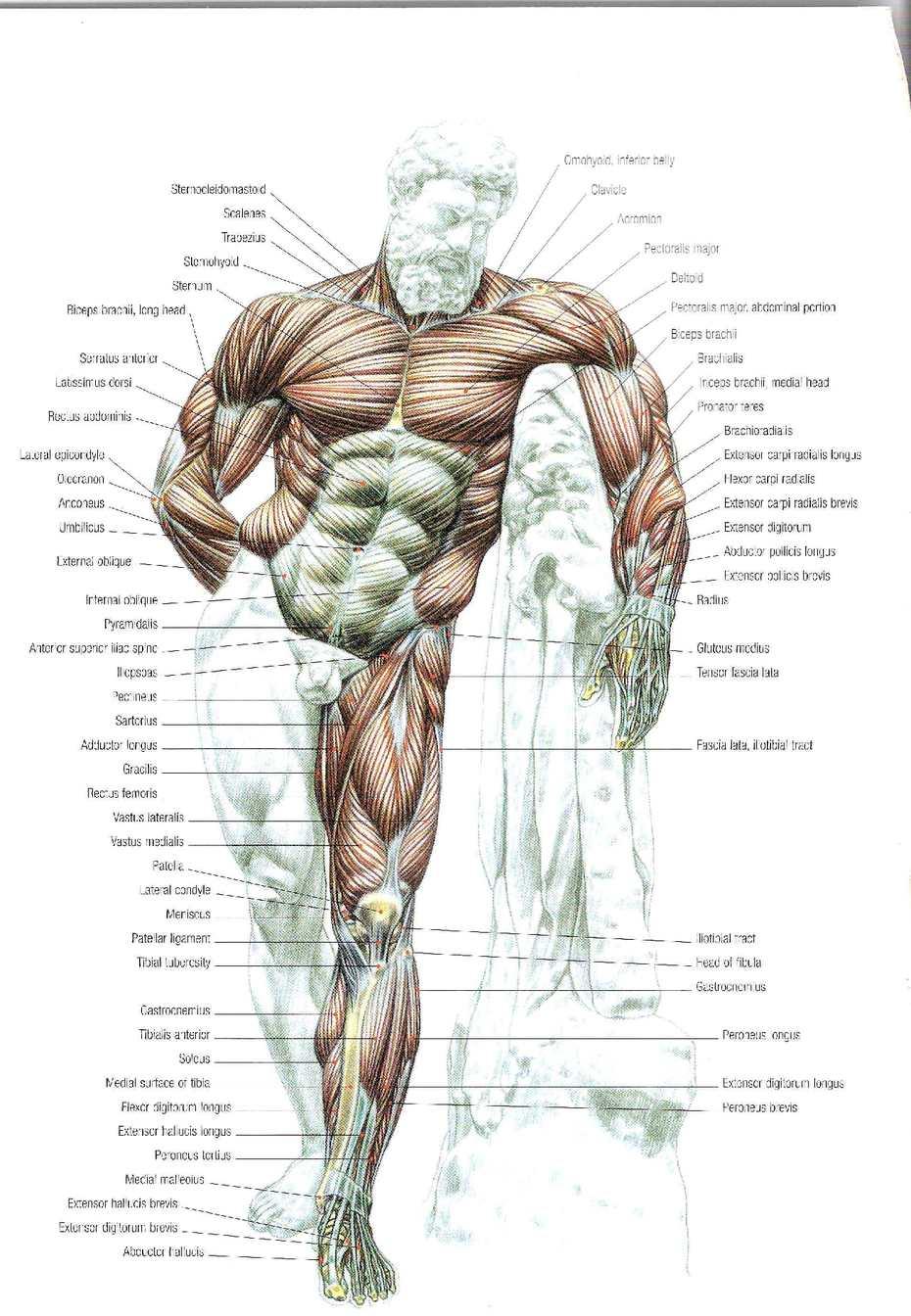 Strength Training Anatomy 2nd Edition Calameo Downloader