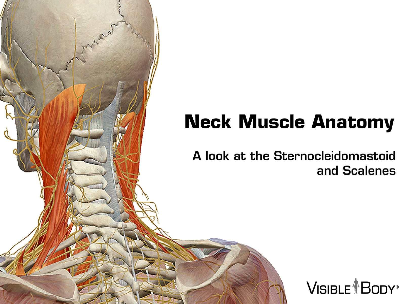 Calamo Neck Muscles 041715