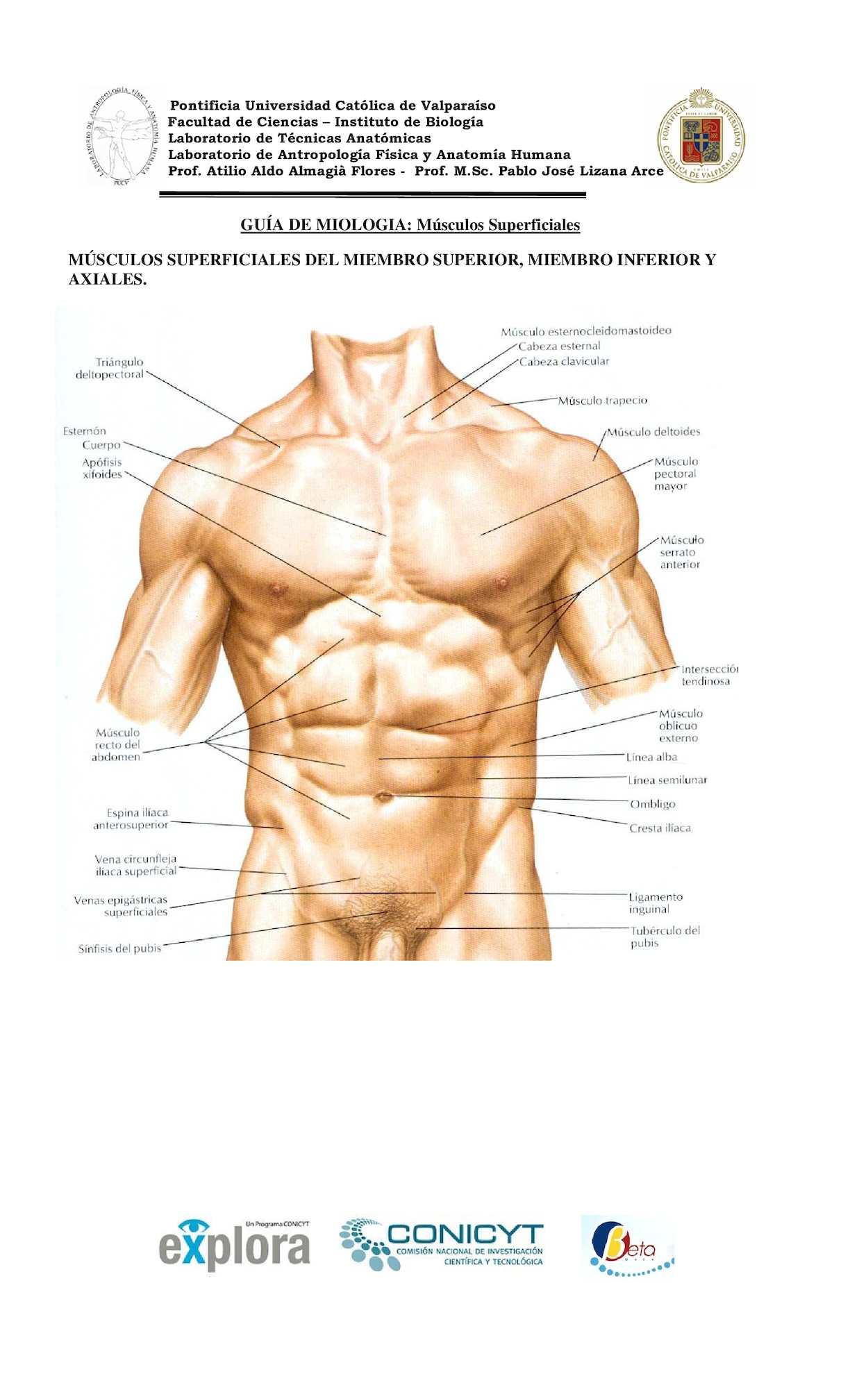Calaméo - Musculos