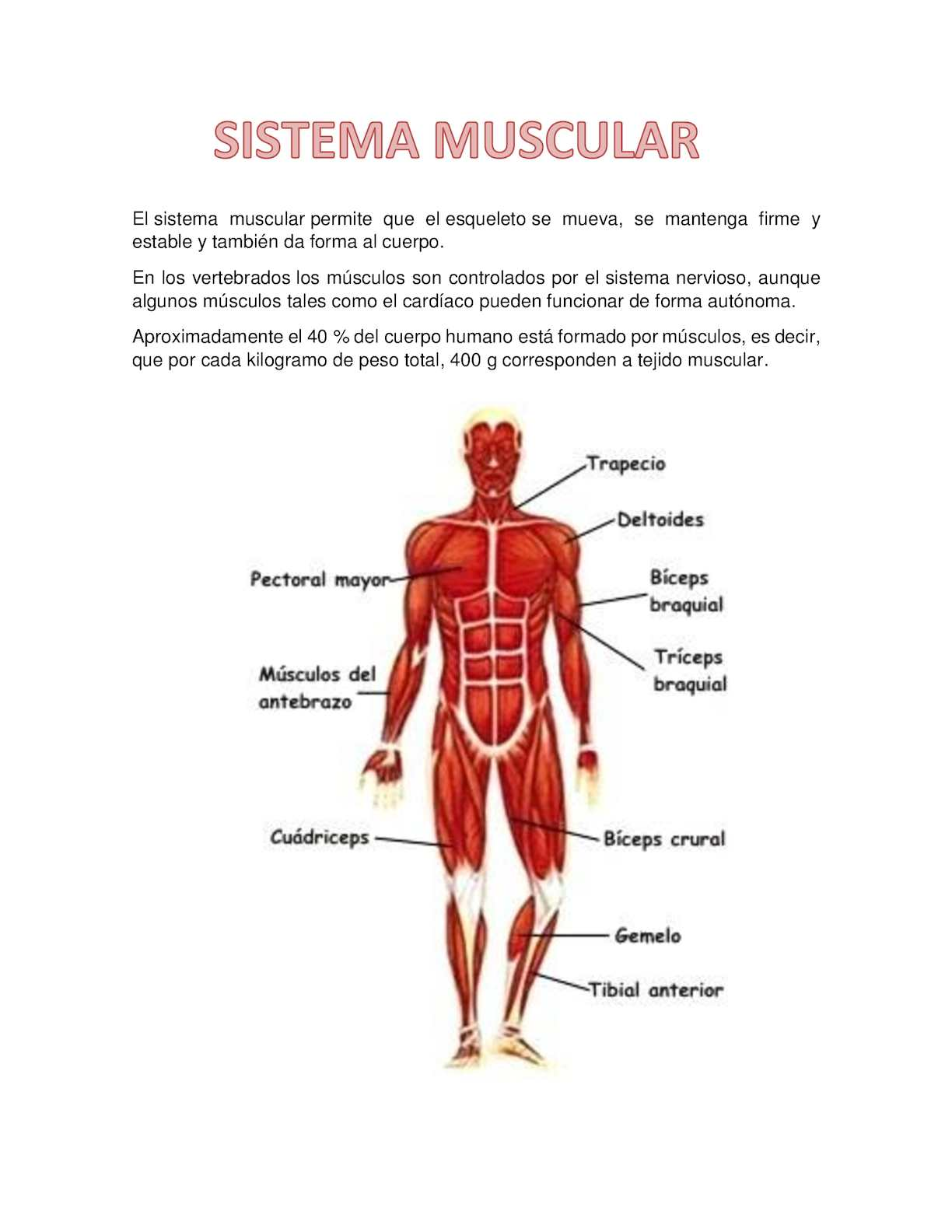 Calaméo - Sistema Muscular