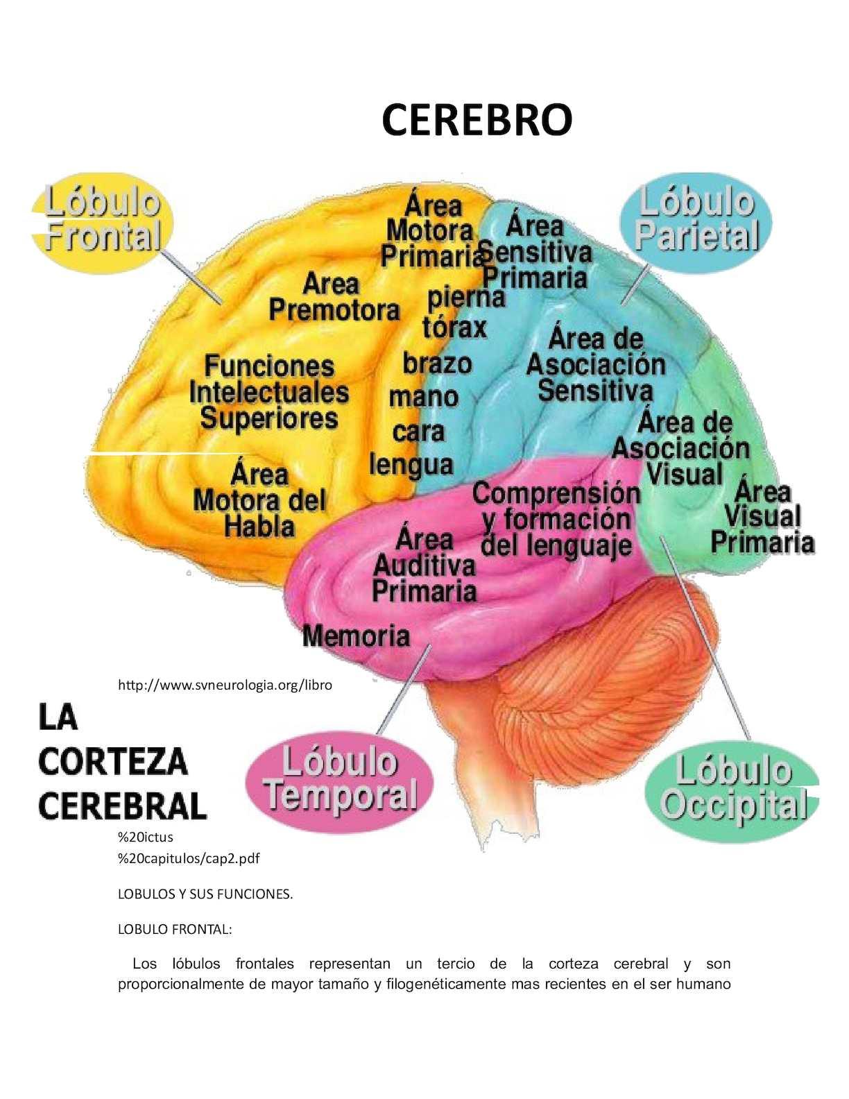 Calam o lobulos y funciones del cerebro Areas de la cocina y sus funciones