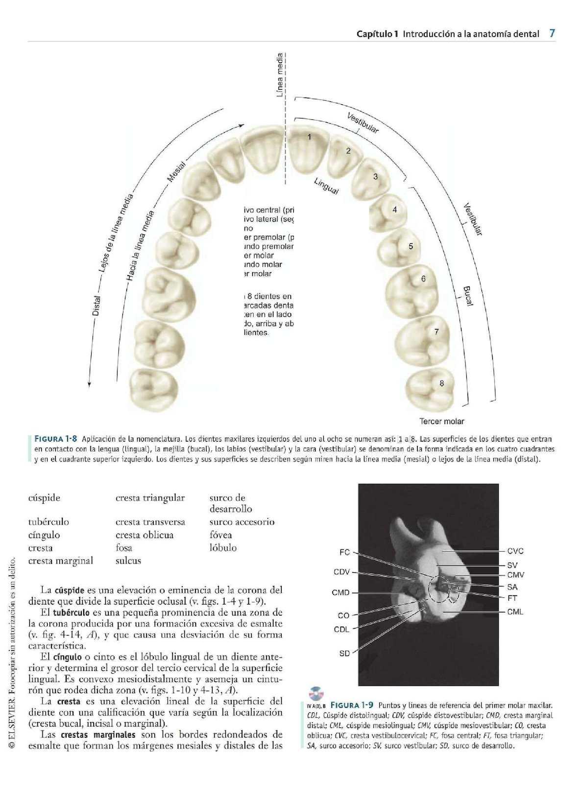 Atractivo Anatomía Del Diente Molar Imagen - Imágenes de Anatomía ...