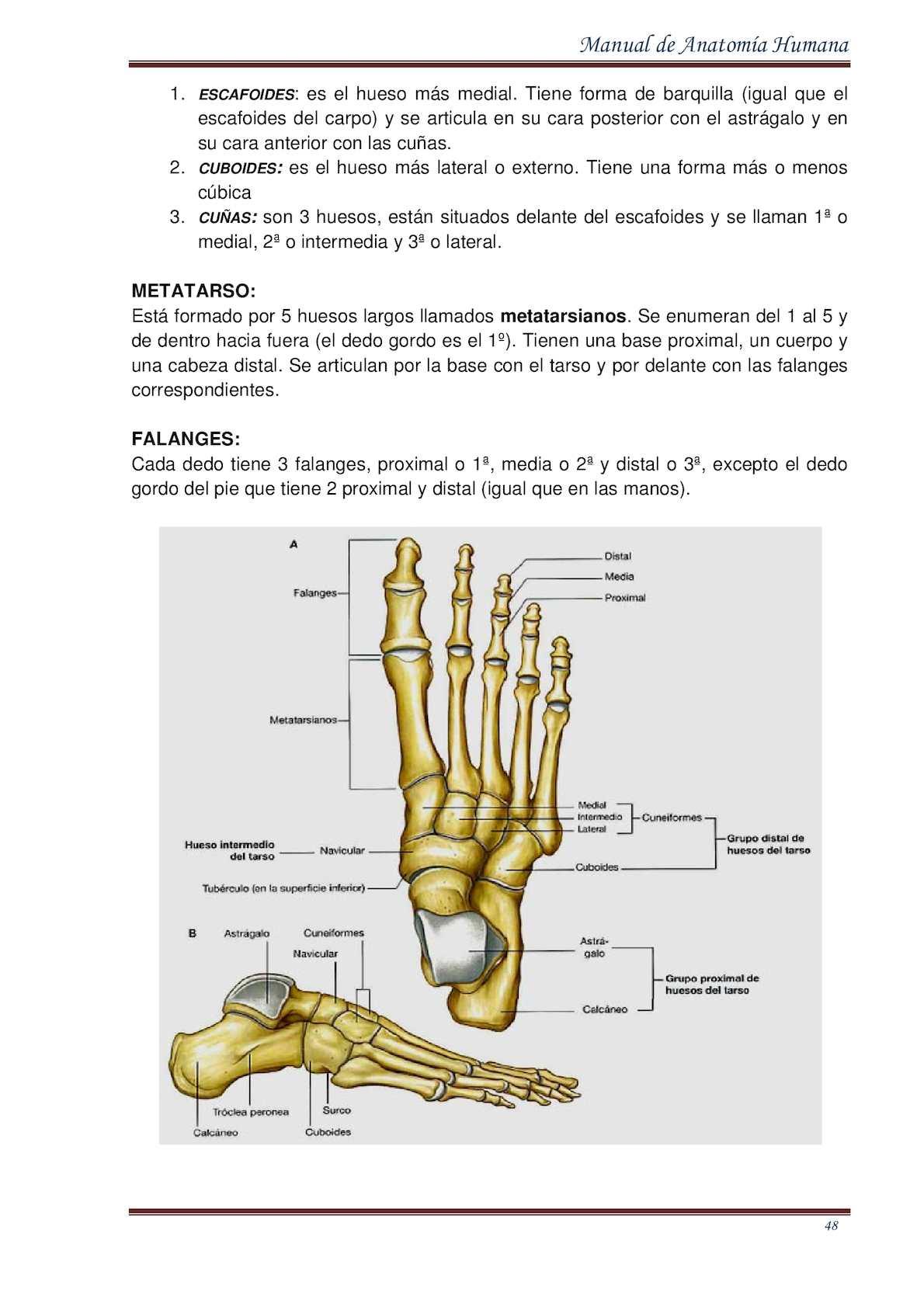 Hermosa Anatomía Hueso Astrágalo Patrón - Imágenes de Anatomía ...