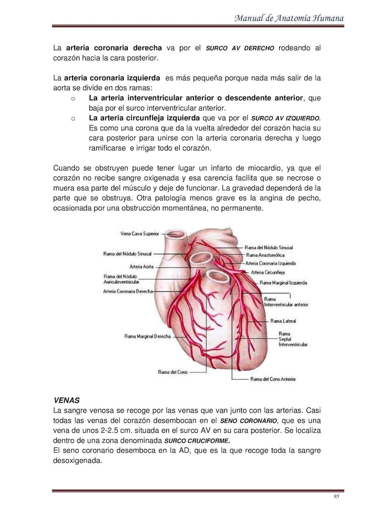Famoso Anatomía Coronaria Derecha Composición - Anatomía de Las ...