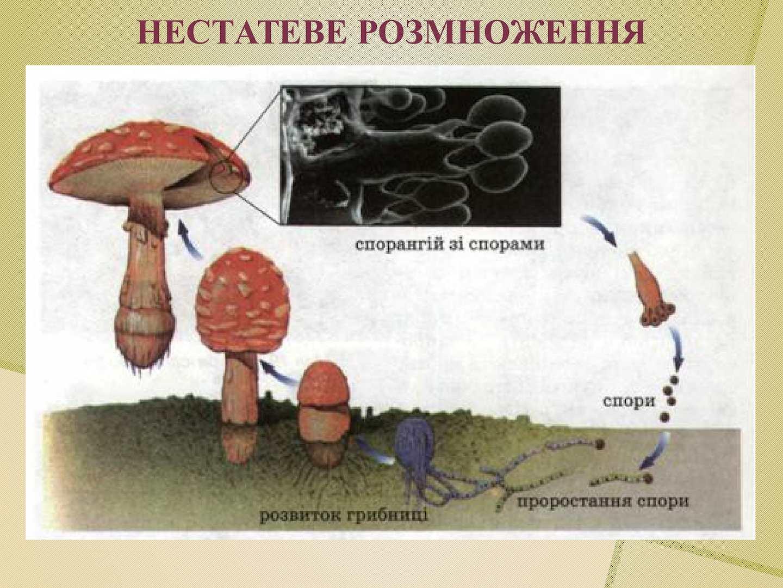 Схема размножения шляпочного гриба