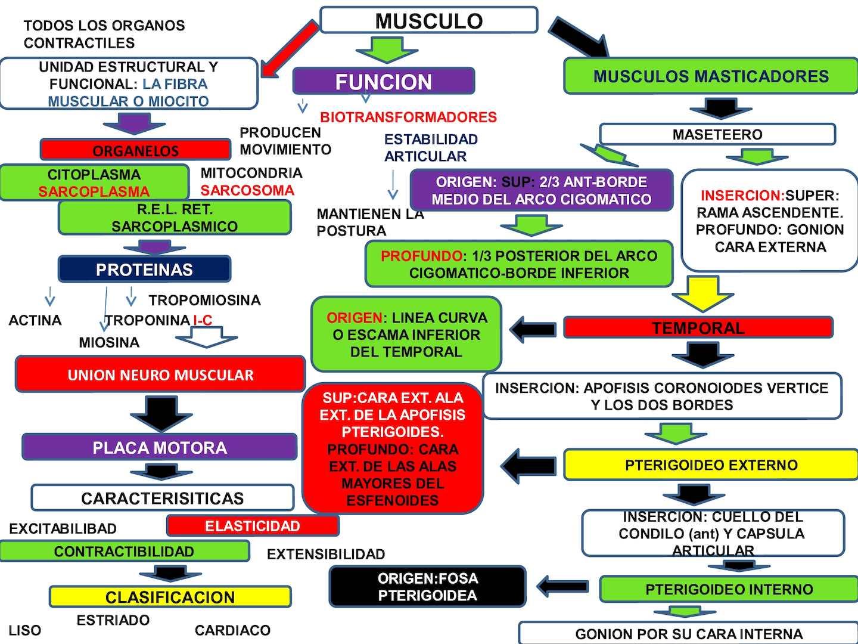 Calaméo - Mapa Conceptual Musculos