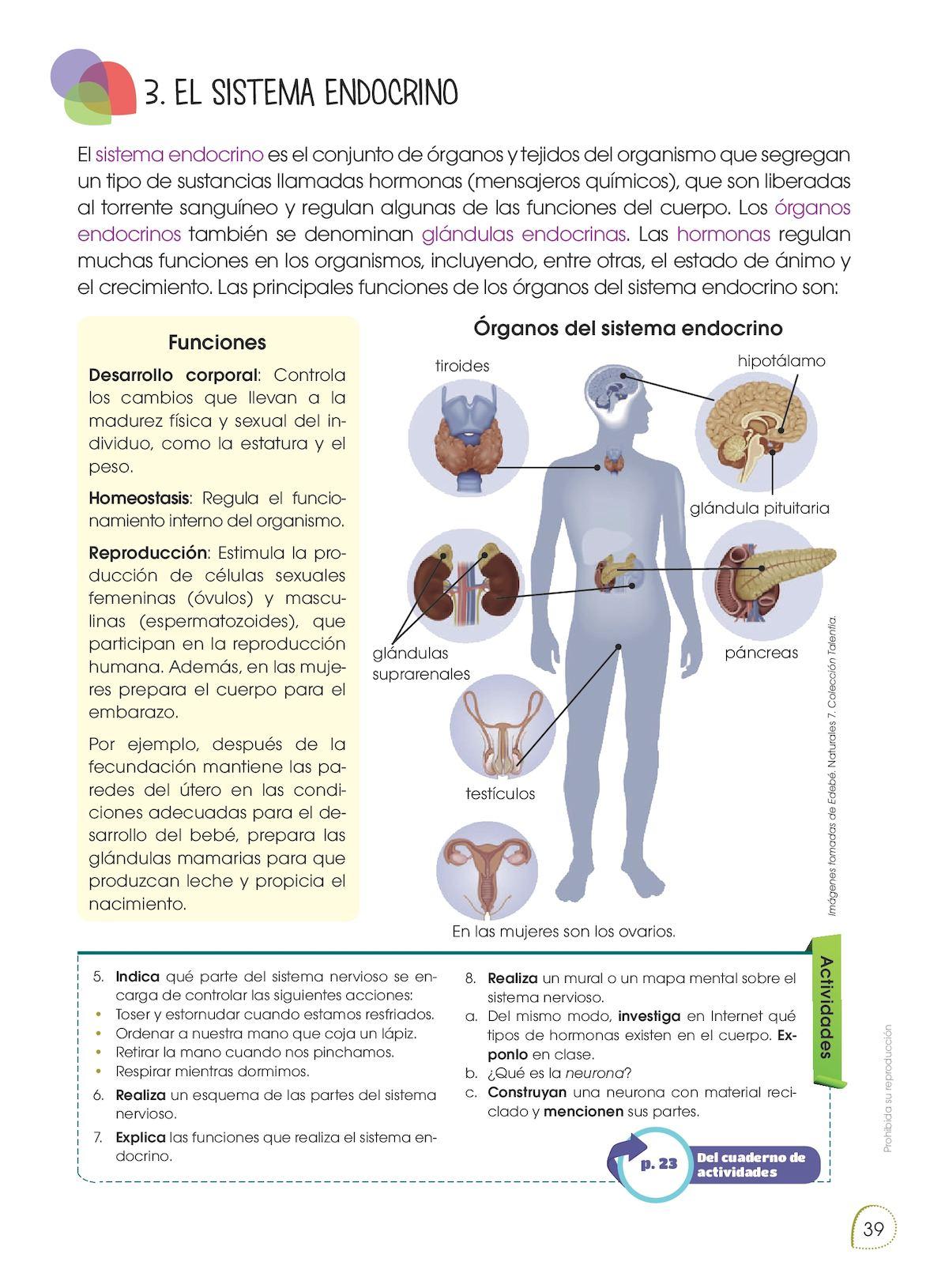 Perfecto El Sistema Endocrino Humano Hoja De Trabajo Sistema De ...