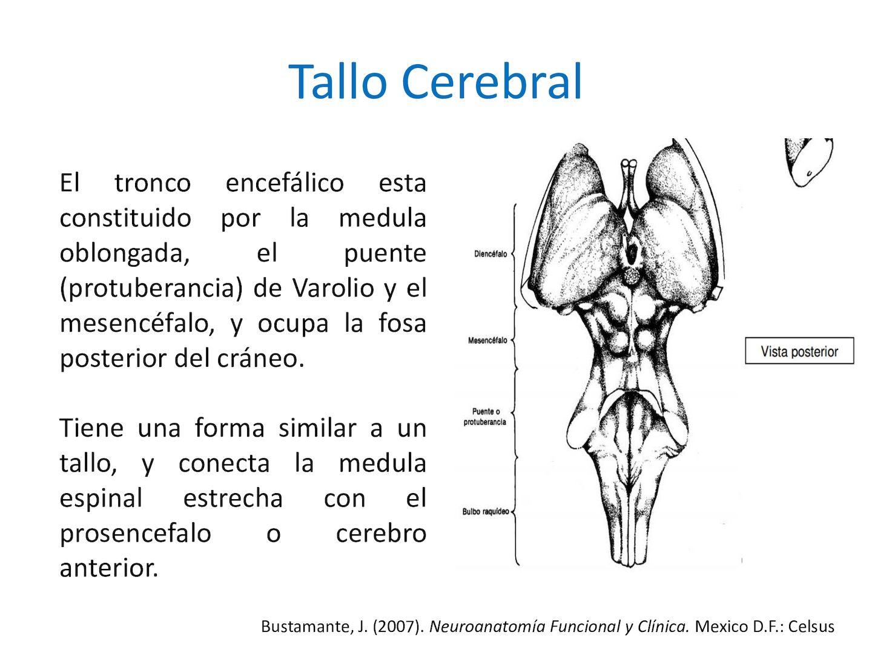 7 Tallo Cerebral - CALAMEO Downloader