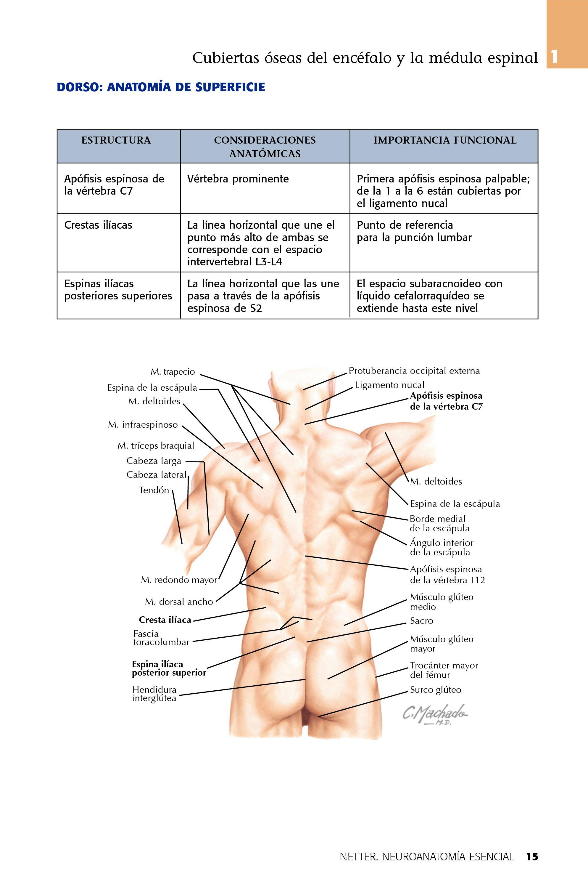 Excelente El Espacio Aracnoideo Bosquejo - Imágenes de Anatomía ...