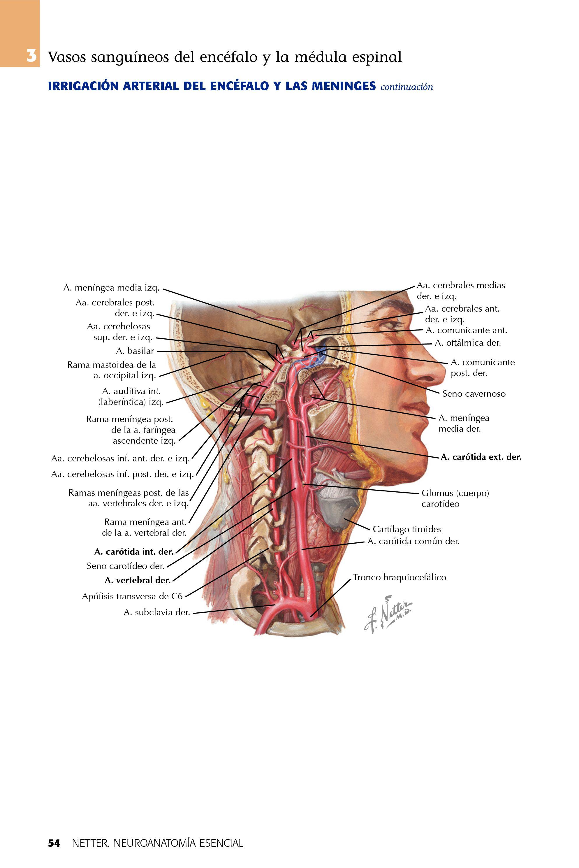Increíble La Anatomía Del Seno Cerebral Patrón - Imágenes de ...