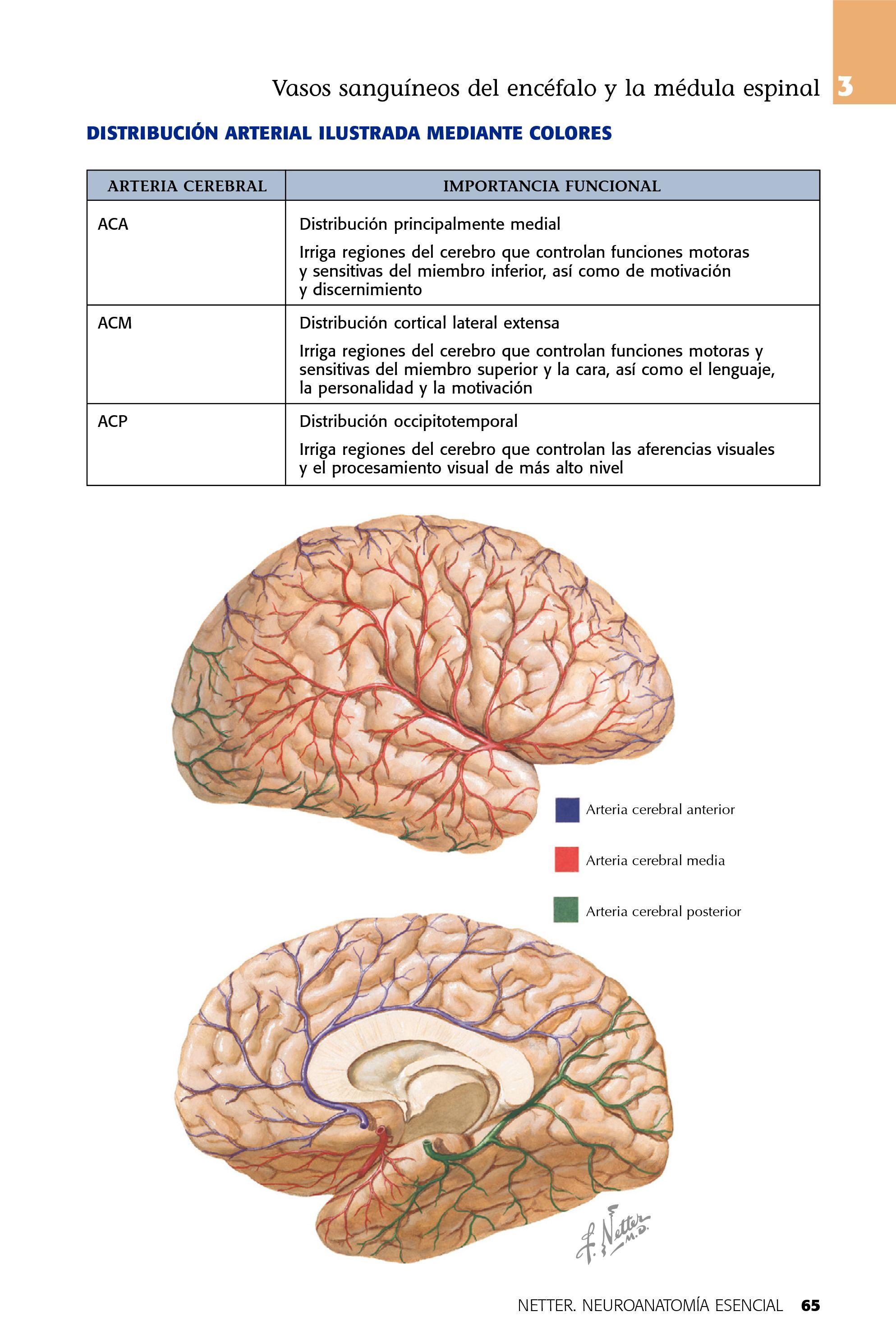 Dorable Diagrama De Marcado Del Cerebro Con Funciones Modelo ...