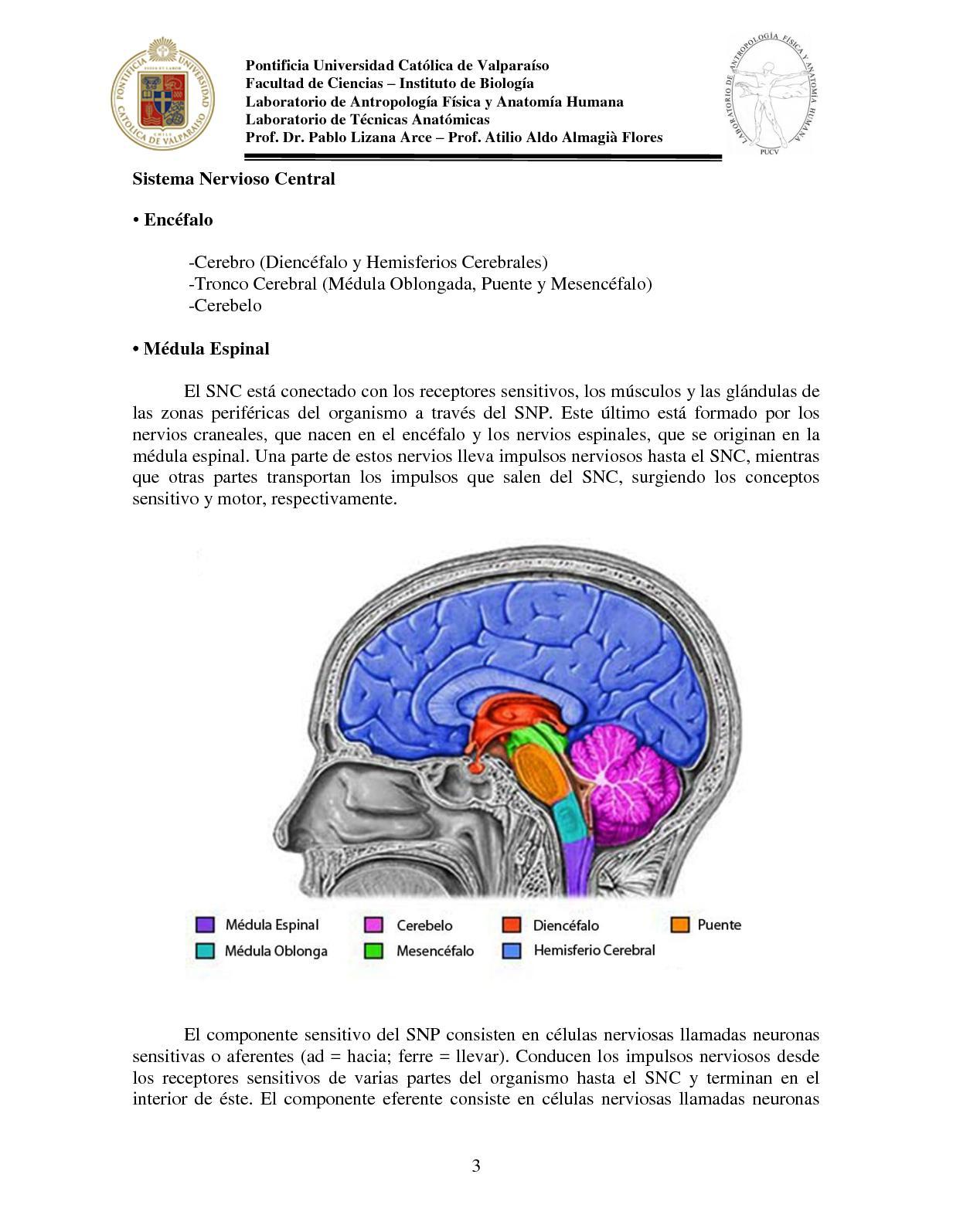 Contemporáneo Anatomía De Las Células Cerebrales Imagen - Anatomía ...