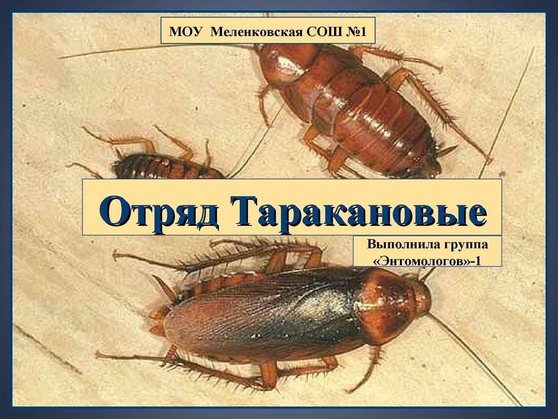 Отряды таракановые картинки