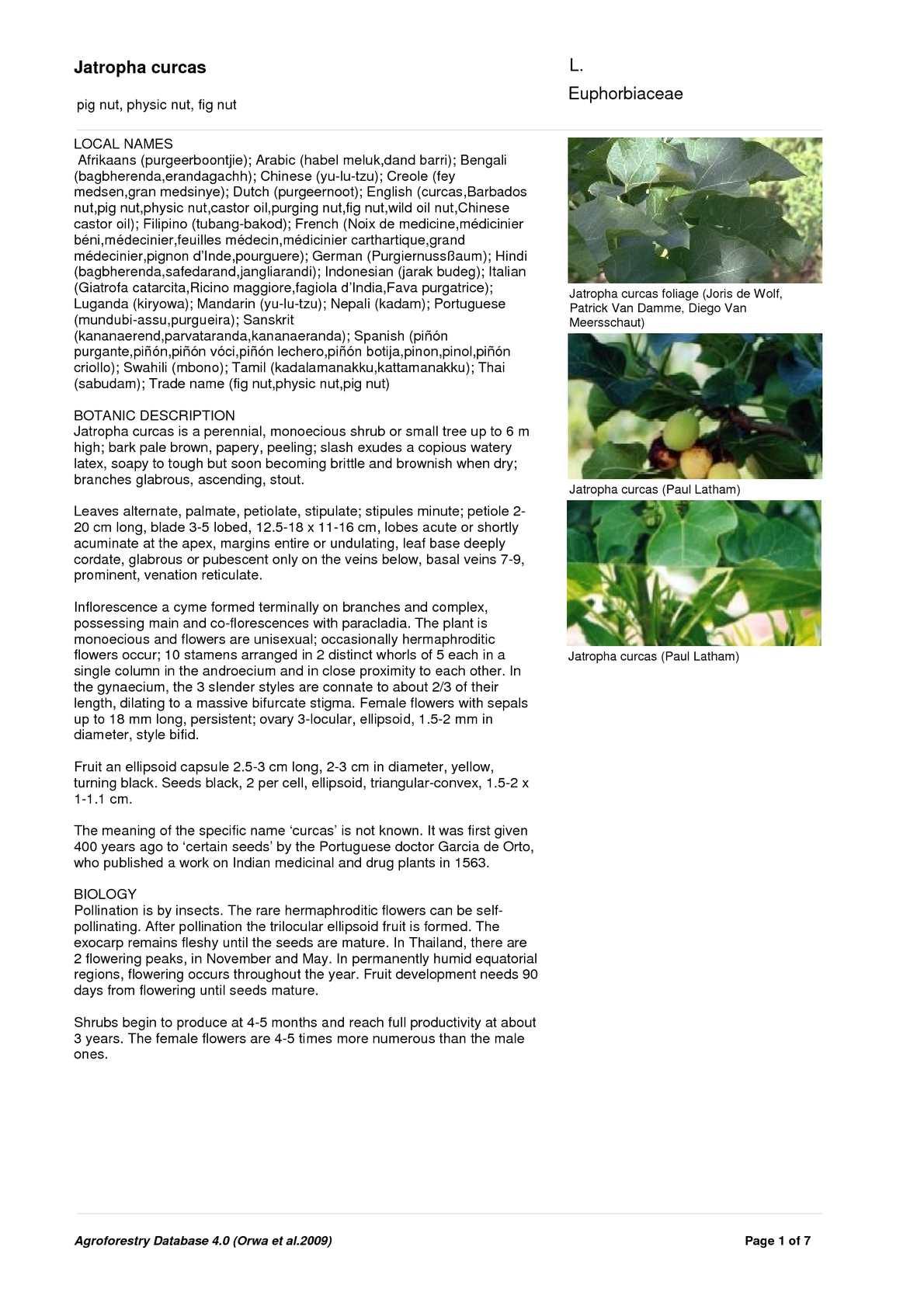 100 seeds PHYSIC NUT Barbados rare JATROPHA CURCAS diesel drought tolerant seed