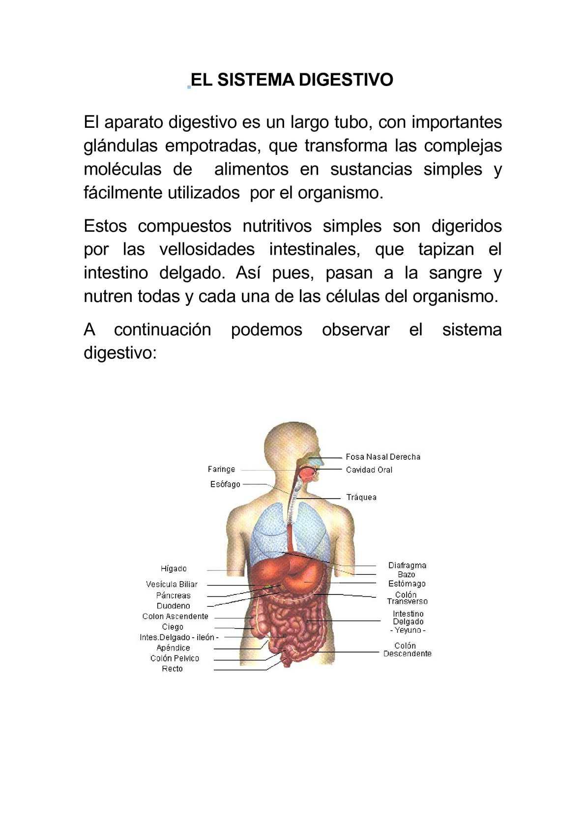un organismo importante del sistema digestivo es