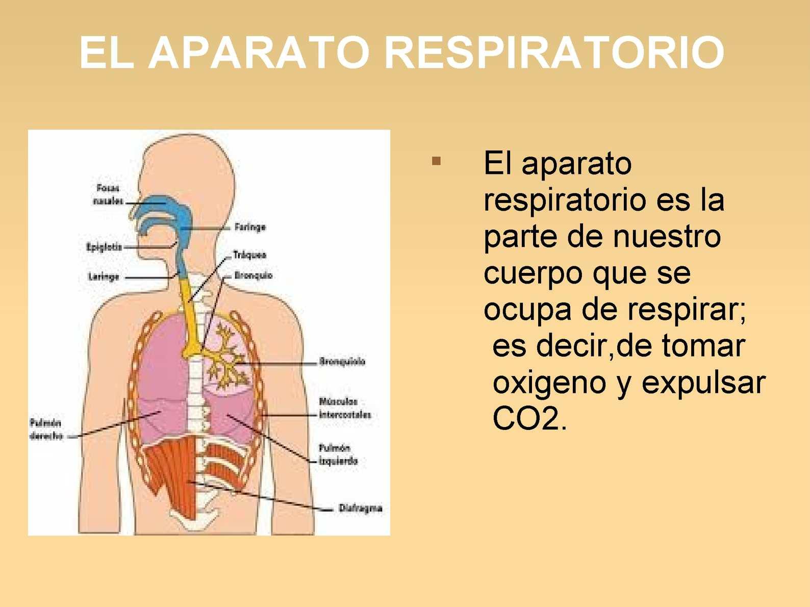 LA NUTRICIÓN II (RESPIRACIÓN CIRCULACIÓN Y