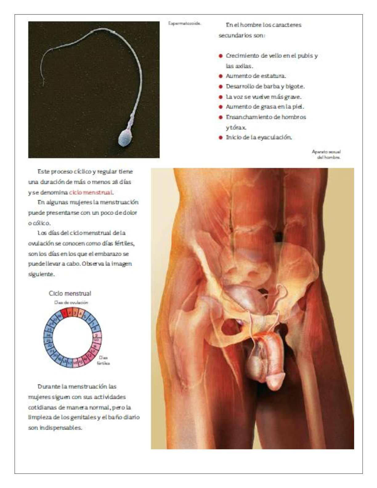 dolor en el pubis derecho hombre
