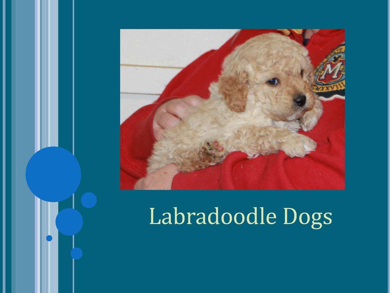 Calaméo Labradoodle Dogs