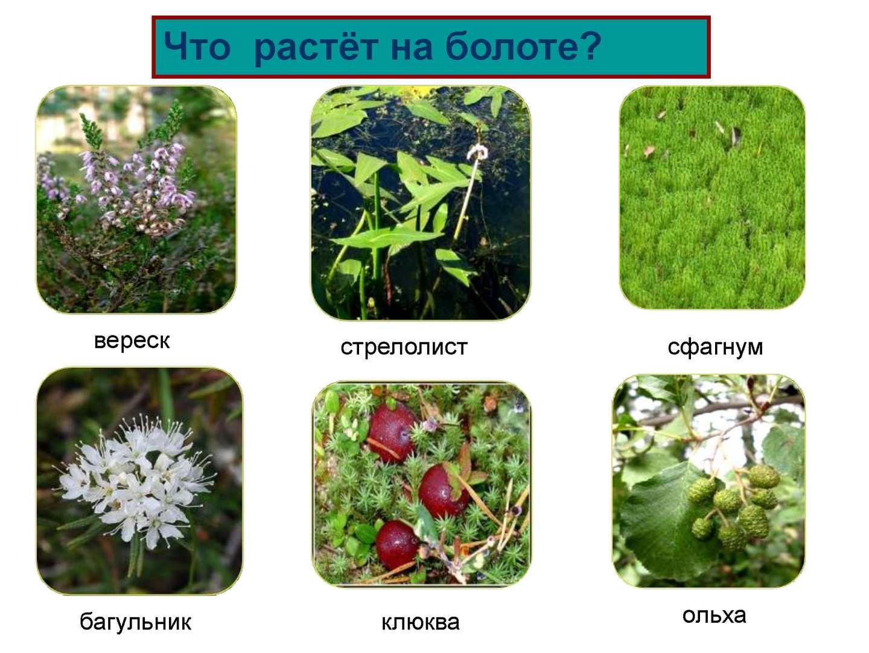для болотные растения картинки с названием бывают самых разных