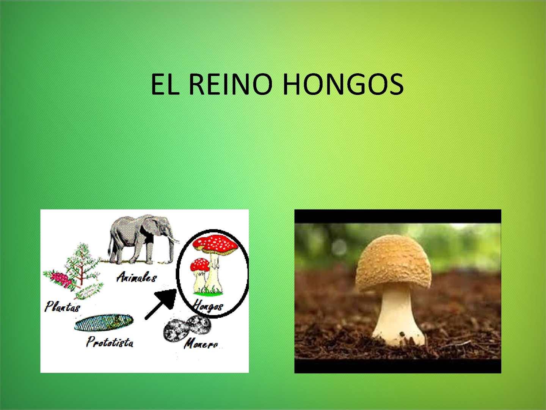 que es hongo reino
