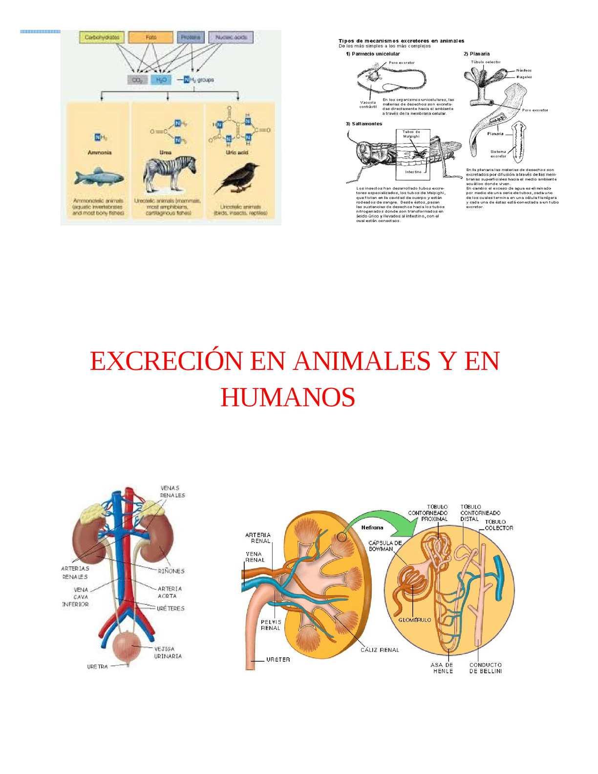 Calaméo - Excreción En Animales Y En Humanos