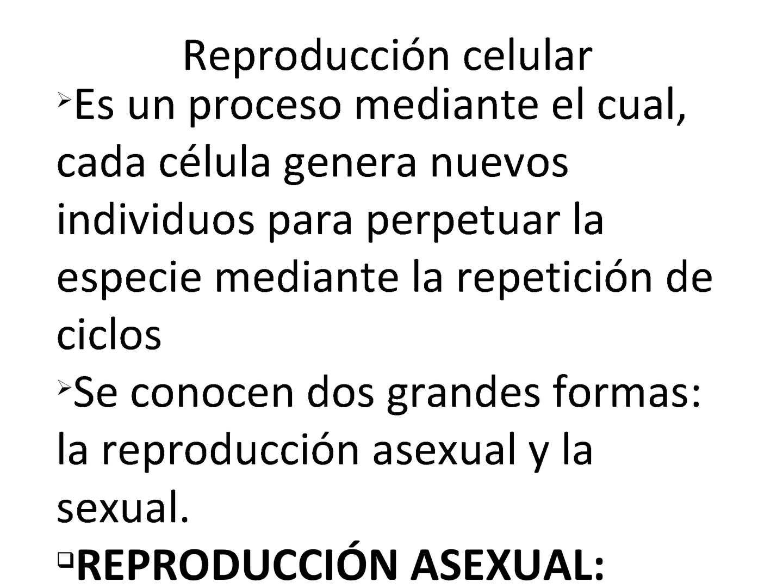 Reproduccion celular asexual directa