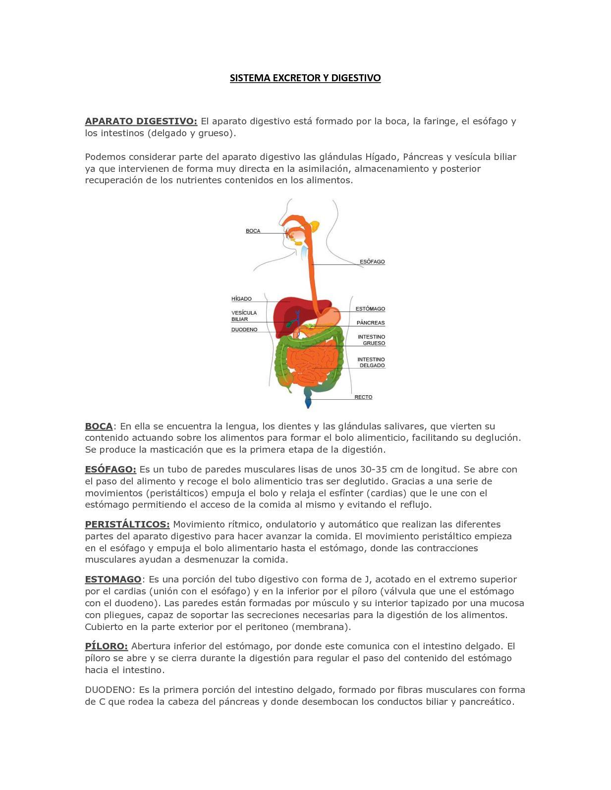 Cual es la funcion del estomago en el sistema digestivo