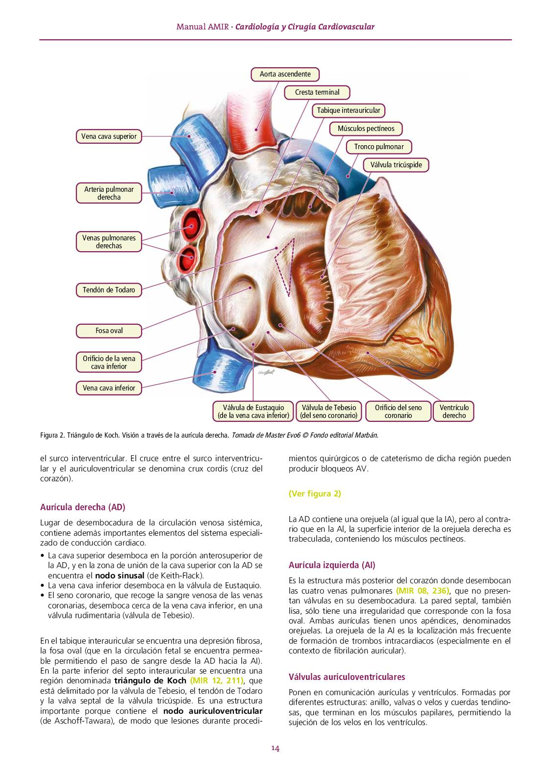 zona septal del corazon