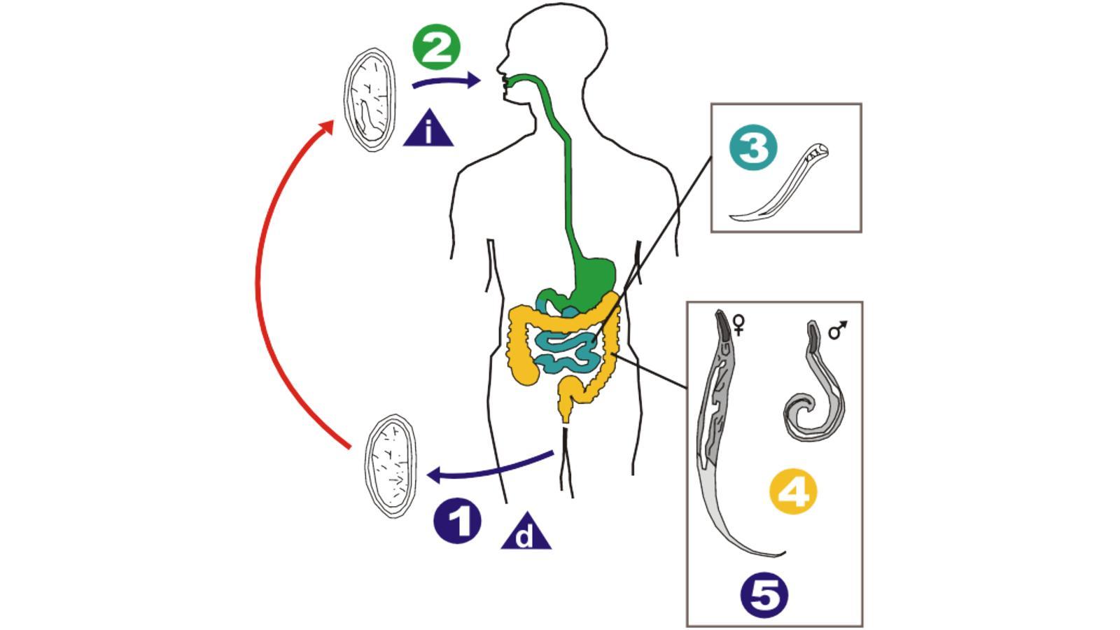 paraziták az emberekben hosszúak ürülék tojás féreg podolszkban